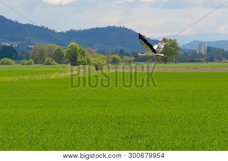Large White Stork Flying Low Over A Green Field In Mountainous Countryside With Woodland Trees And D