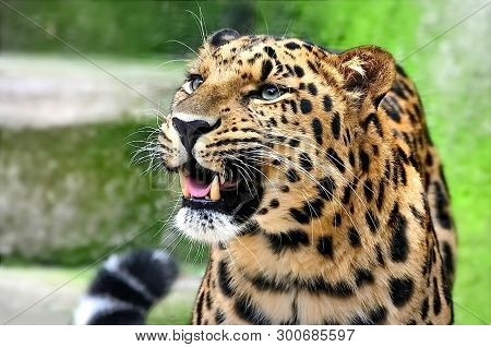 Far Eastern Leopard, Or Amur Leopard (lat. Panthera Pardus Orientalis). Closeup, Portrait. Currently