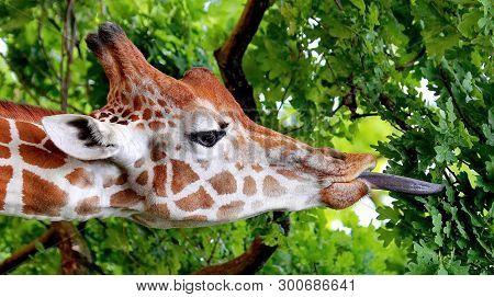 Giraffe (giraffa Camelopardalis). Closeup. Mesh Giraffe. Wild Nature. Giraffe Is The Highest Terrest
