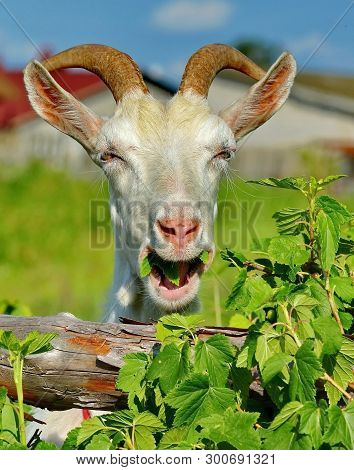 A Merry Goat. Portrait, Closeup. Smile For The Photographer. The Goat Is One Of The First Domesticat