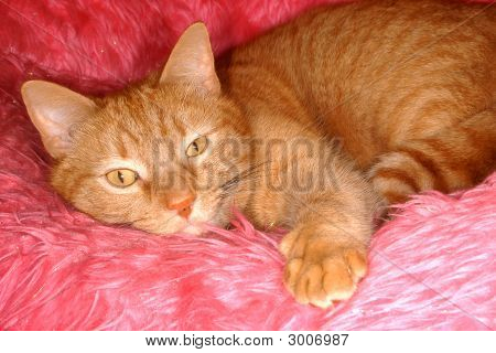 Kitty Cat On Pink Furry Couch