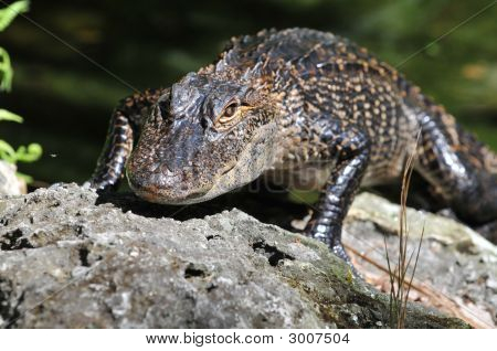 Young American alligator walking on a rock poster