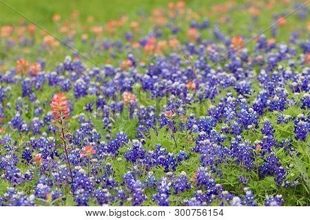 The Lovely Blue Bonnet In Brenham, Texas