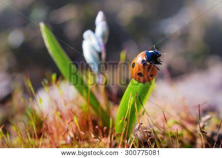 Ladybug On A Leaf Of Blue Flower. Summer Macro Landscape In Bright Sunlight. Summer Minimalistic Fre