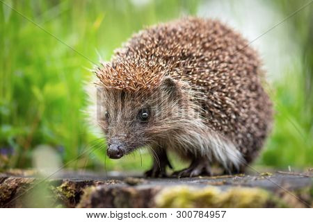 Cute common hedgehog on a stump in spring or summer forest during dawn. Young beautiful hedgehog in natural habitat outdoors in the nature.