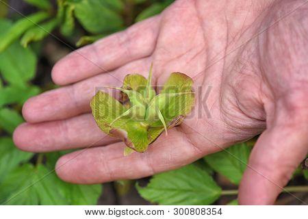 Seedpods of the Helleborus in gardener's hand poster