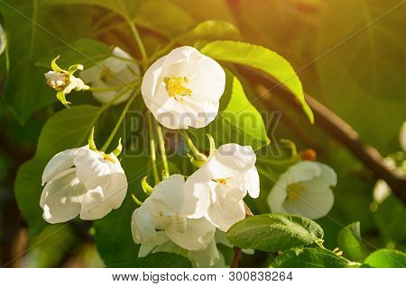 Spring apple flowers in blossom lit by soft sunlight - spring flower landscape. Closeup of spring apple flowers in spring blossom