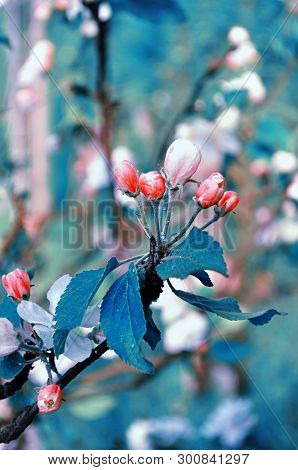 Spring landscape - apple flowers in spring blossom. Spring floral background. Apple tree branch in the spring garden, creative tones applied