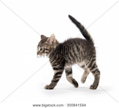 Cute Baby Tabby Cat Standing Isolated On White Background