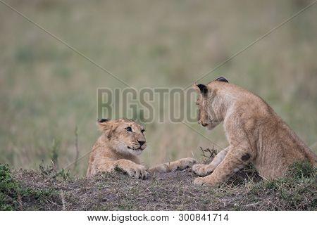 Two Lion Cubs Playing In A Savannah In Masai Mara Game Reserve, Kenya