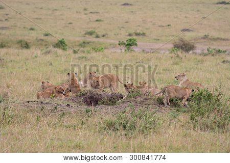 Lion Pride At A Kill In Masai Mara Game Reserve, Kenya