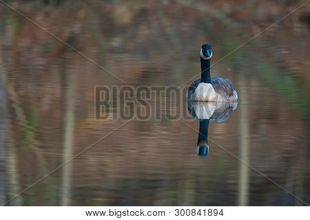Canada Goose In Small Reflective Pond In Rural Midwest United States.