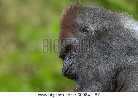 Captive Western Lowland Mountain Gorilla In An Enclosure In A Zoo.