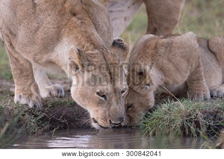 A Female Lion And Its Cub Get A Drink At A Water Hole In Maasai Mara Game Reserve, Kenya.