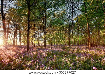 English Bluebell Woodland With Stunning Sunrise Light Shining Through The Trees. Purple Wild Spring