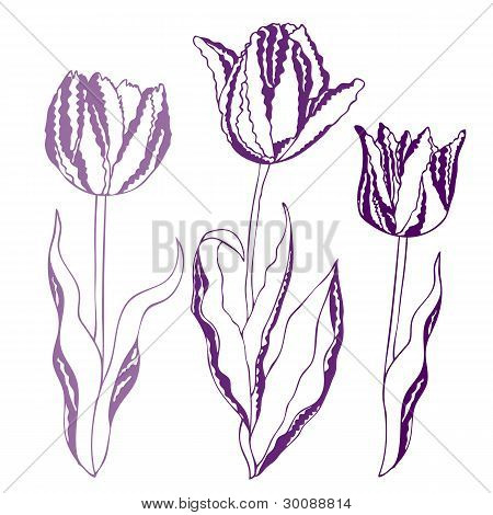 Vector Illustration Of Tulips