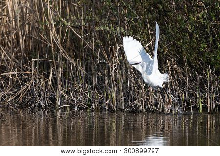 Lift Off From The Reedbed For This Little Egret