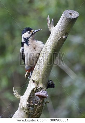 A great spotted woodpecker perched in local woodlands