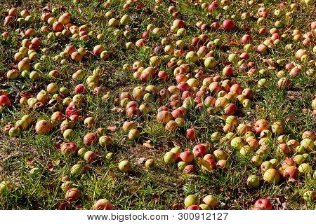 Apples On The Ground Under An Apple Tree During Autumn