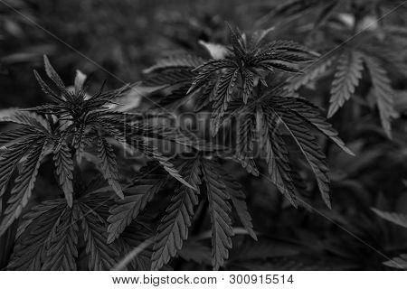 Bush Marijuana On Blurred Black Background. Bush Cannabis.