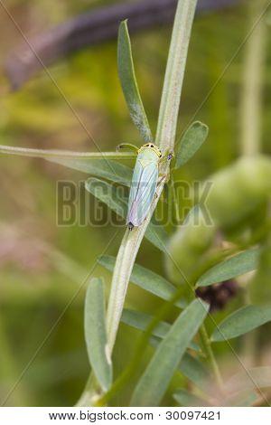 Leafhopper  ( Cicadella Viridis )