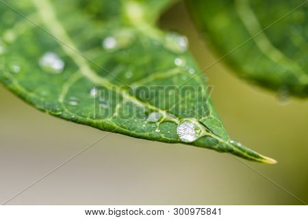 Closeup Of Raindrops On The Tip Of A Green Leaf  In Nature With Natural Sunlight