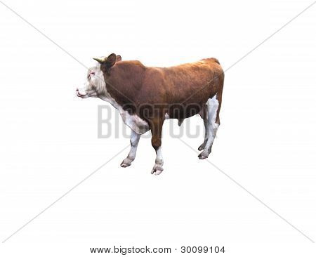 ox on the white background