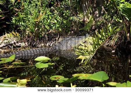 Alligator and wildlife of the Everglades National Park, Florida- poster