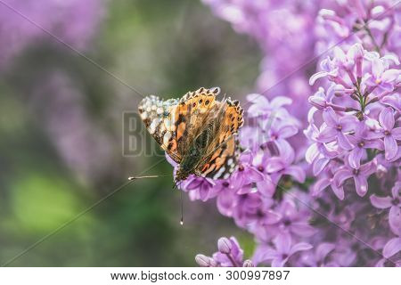 Painted Lady Butterfly On The Flowers Syringa