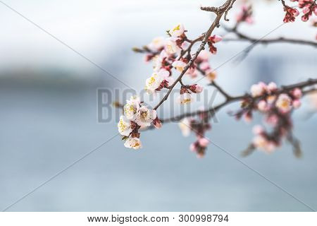 White Blossom Apricot Tree Branch, During Spring Season. Spring Background Art With Apricot Blossom.