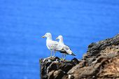 Two Sea-Gulls standing together on a rock high over the ocean poster