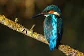 There is a Common Kingfisher on the branch. poster