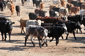 Cattle run briskly to dinner in California feed lot poster