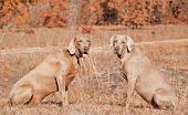 Two Weimaraner dogs sitting in grass against dry brown winter background looking at the viewer poster
