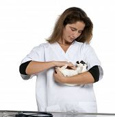 Vet examining a Dalmatian rabbit lying in front of white background poster