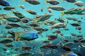 Bass and tilapia swimming underwater in their natural environment poster