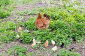 Brood of chicks with brown clocking hen among grass on the farm. Raising domestic fowl by free range method outdoors poster