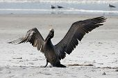 Adult pelican landing on beach sand with its wings outstretched showing feather detail. poster