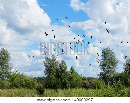 Rooks gather in packs