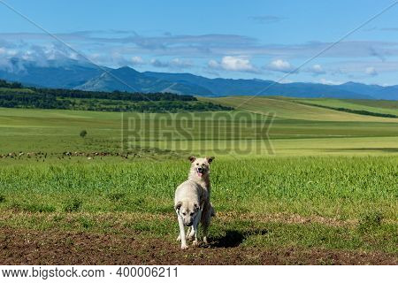 Mating Of A Purebred And Stray Dog In Nature