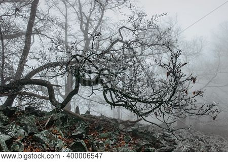Magical Old Trees In Fog.amazing Misty Forest.fantasy Landscape With Foggy Forest,morning Frost.fair