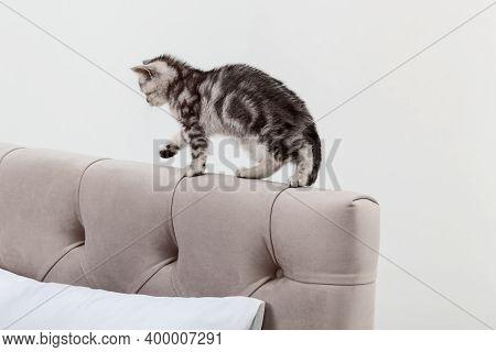 Small Tabby Scottish Fold Kitten Walks On The Headboard