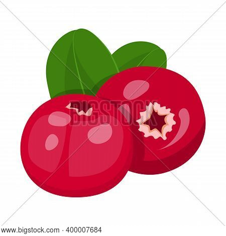 Cranberry Vector Isolated. Sweet Ripe Red Berries