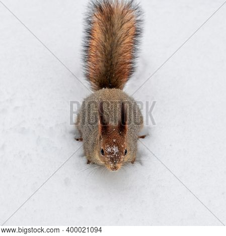 Squirrel Carefully Walks In The White Snow. Beautiful European Red Squirrel Walks In Winter.
