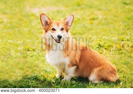 Pembroke Welsh Corgi Dog Puppy Sitting In Green Summer Grass. The Welsh Corgi Is A Small Type Of Her