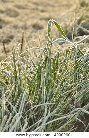 Hoarfrost On Grass