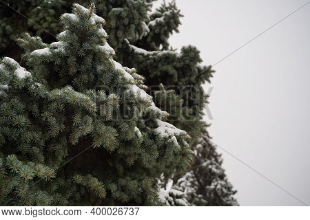 Close Up Of Nice Evergreen Fir With Snow In Cloudy Weather. Fir Branches On Background Of Gray Sky.