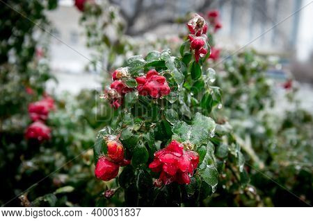 Eed Rose Covered With Ice. Frozen Red Rose Flower In Ice Outdoors. Winter And Macro Shot. Plant In I