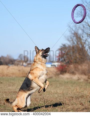 German Shepherd Black And Red Color Is Preparing To Jump And Catch Blue Toy Ring Puller. Active Game