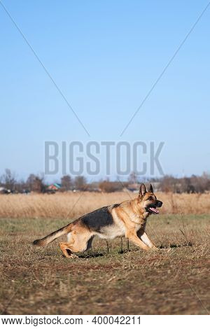 German Shepherd Black And Red Color With Brown Eyes And Pink Tongue Looks Up Intently And Waits To J
